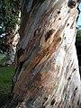 Eucalyptus Trees, Santa Monica (3840010144).jpg