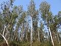 Eucalyptus plantation in Kerala.jpg