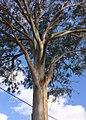 Eucalyptus tereticornis - upper branches.jpg