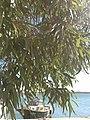 Eucalyptus tree ,Alibey Adası,(Cunda İsland) - panoramio.jpg