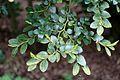 Eucryphia cordifolia (Eucryphia glutinosa) - RHS Garden Harlow Carr - North Yorkshire, England - DSC01147.jpg