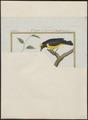 Euphonia chlorotica - 1700-1880 - Print - Iconographia Zoologica - Special Collections University of Amsterdam - UBA01 IZ15900415.tif