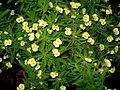Euphorbia71.JPG