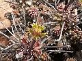 Euphorbia rudis-PICT2477.jpg