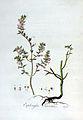 Euphrasia odontites — Flora Batava — Volume v3.jpg