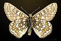 Euphydryas cynthia MHNT CUT 2013 3 28 Col de Granon male ventral.jpg