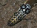 Euphydryas maturna - Scarce fritillary (pupa) - Шашечница матурна (куколка) (26280072607).jpg