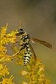 European Paper Wasp (Polistes dominula) - Mississauga, Ontario 02.jpg