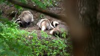 File:European badgers (Meles meles) in Slovakia.webm