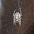 European garden spider.JPG