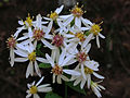 Eurybia divaricata - White Wood Aster 4x3.jpg