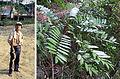 Eurycoma longifolia (14128027862).jpg