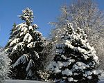 Evergreens covered in snow in Nebraska.jpg