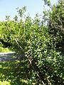 Exochorda korolkowii - Botanical Garden in Kaisaniemi, Helsinki - DSC03601.JPG