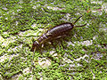 F-auricularia nymph - Kollenberg20090722 595.jpg