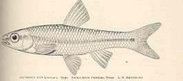 FMIB 40137 Notropis nux Evermann Type Neches River, Palestine, Texas.jpeg