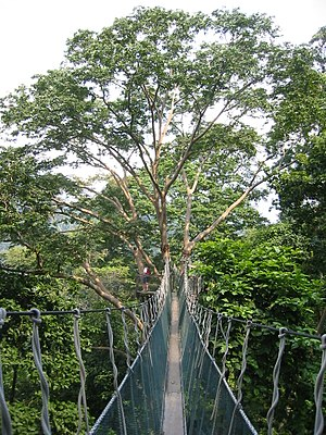 Forest Research Institute Malaysia - The FRIM canopy walkway.