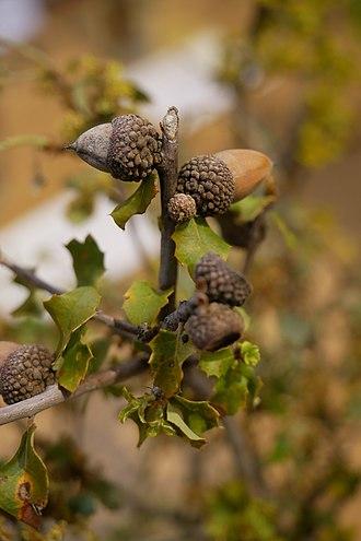Fagaceae - Image: Fagaceae Scruboak Quercus berberidifolia