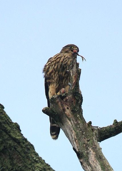 File:Falco columbarius Ithaca NY.jpg