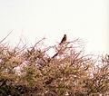 Falco rupicoloides 19990804 JoRoRe.jpg