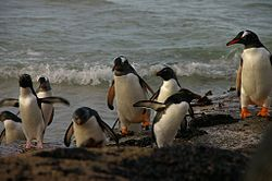 Falkland Islands Penguins 89.jpg