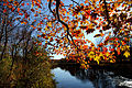 Fall-tree-branch-leaves-along-river - Virginia - ForestWander.jpg