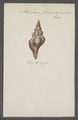 Fasciolaria filamentosa - - Print - Iconographia Zoologica - Special Collections University of Amsterdam - UBAINV0274 084 03 0009.tif