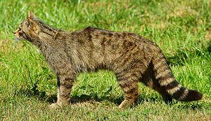 Wildcat - 140 px