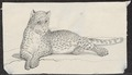 Felis spec. - 1700-1880 - Print - Iconographia Zoologica - Special Collections University of Amsterdam - UBA01 IZ22100206.tif
