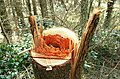 Felled tree, Castlewellan Forest Park (3) - geograph.org.uk - 1246528.jpg