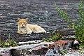 Feral cat in Saint Petersburg.jpg
