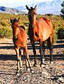 Feral horses Spring Mountains.jpg