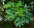 Fern Leaf Tree (Filicium decipiens) leaves in Hyderabad, AP W IMG 7807.jpg