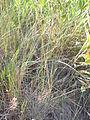Festuca idahoensis (3751279844).jpg