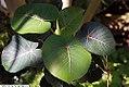 Ficus petiolaris 12zz.jpg