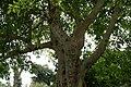 Ficus racemosa 14zz.jpg