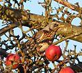 Fieldfare. Turdus pilaris. - Flickr - gailhampshire (1).jpg