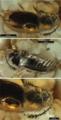 Figure-1-Cryptophagus-alexagrestis-sp-n-holotype-SIZK-K-24572-Schmalhausen.png