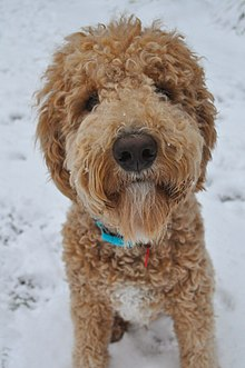 Goldendoodle Wikipedia