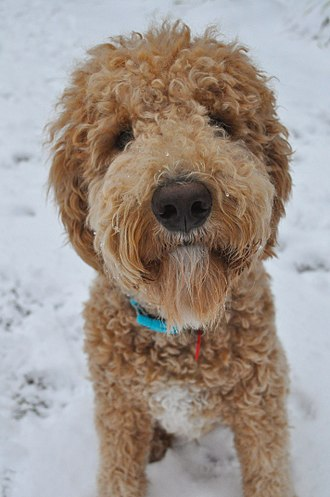 Goldendoodle - 1 Year-old Goldendoodle with medium length hair