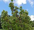 Flats Conebush (Leucadendron floridum) (32843566111).jpg