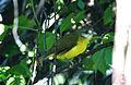 Flavescent Bulbul Pycnonotus flavescens by Dr. Raju Kasambe (1).JPG
