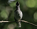 Flickr - Rainbirder - Bearded Bellbird (Procnias averano) male in full call (1).jpg