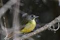 Flickr - Rainbirder - Grey-headed Bristlebill (Bleda canicapilla) (1).jpg