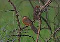 Flickr - Rainbirder - Rufous Chatterer pair (Turdoides rubiginosus) (1).jpg