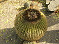 Flickr - brewbooks - Echinocactus grusonii Golden Barrel Cactus (2).jpg