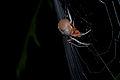 Flickr - ggallice - Tropical orb weaver Araneidae, Eriophora sp..jpg