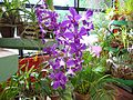 Flickr - ronsaunders47 - ORCHID IN THE GREENHOUSE..jpg