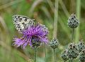 Flockenblume mit Schachbrettfalter.jpg