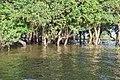 Flooded trees in Kampong Phlouk (7).jpg